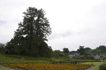 杉沢の大スギ