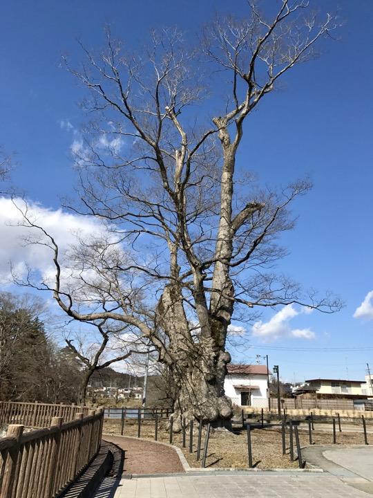 棚倉城跡の大ケヤキ