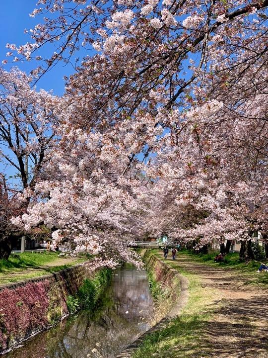 引地川 千本桜